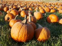 Bunch of pumpkins at the patch. Pumpkin patch in California Royalty Free Stock Photos