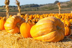 Pumpkin patch in California. Royalty Free Stock Photography