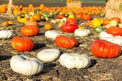Pumpkin patch in California. Stock Photos