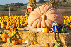Pumpkin patch in California. Stock Photography