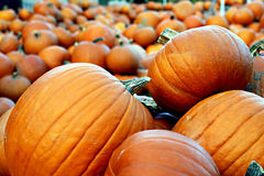Pumpkin patch close up. Close up details of patch of ripe pumpkins Royalty Free Stock Photography