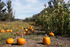 Pumpkin patch and Corn field in autumn Royalty Free Stock Photos