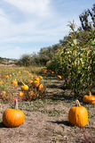 Pumpkin patch and Corn field Royalty Free Stock Photos