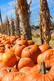 Pumpkin Patch With Corn Stalks Royalty Free Stock Photos