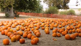 Pumpkin patch. A fall day with pumpkins Stock Photo