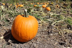 Pumpkin patch in fall Stock Photo