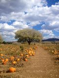 Pumpkin patch in the fall Stock Images
