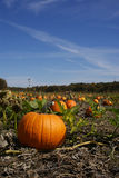 Pumpkin patch in Fall season Royalty Free Stock Photo