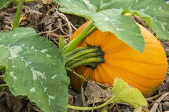 Pumpkin in a pumpkin patch stock photos