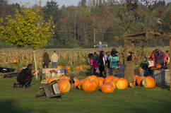 Pumpkin patch farm royalty free stock images