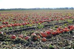 Pumpkin Patch Field Stock Photos