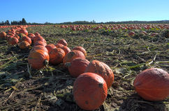 Pumpkin Patch Field Royalty Free Stock Photos