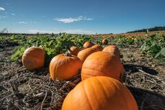 Pumpkin patch. Field for growing vegetables. fresh orange pumpkins on a farm field