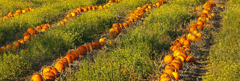 Pumpkin Patch Field Stock Photo