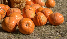 Pumpkin patch in a field of straw Royalty Free Stock Photo