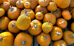 Pumpkin Patch. Royalty Free Stock Image