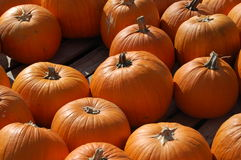 Pumpkin Patch. A pumpkin patch is full of different sizes of pumpkins Stock Photos