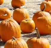 Pumpkin Patch. Group of pumpkins on farm Stock Image