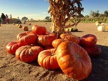 Pumpkin Patch. A group of pumpkins from a San Jose pumpkin patch stock photo