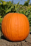 Pumpkin Patch for Halloween royalty free stock photos