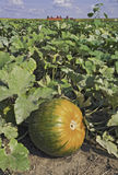 Pumpkin in a patch with hayride in the background Stock Photo