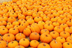 Pumpkin patch for holiday season. Background picture Royalty Free Stock Photography