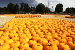 Pumpkin patch for holiday season. Royalty Free Stock Images