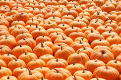 Pumpkin patch for holiday season. Pumpkins on a ladder. stock images