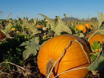 Pumpkin patch landscape Stock Photos