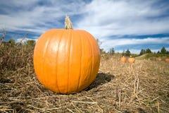 Pumpkin in patch landscape. Landscape single pumpkin in farm patch with blue sky background Royalty Free Stock Image