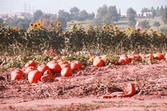 Pumpkin Patch Landscape Royalty Free Stock Photography