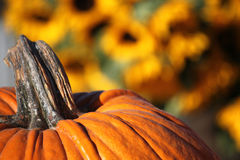 Pumpkin Patch. Large pumpkin close up, in field Royalty Free Stock Image