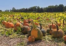 Pumpkin patch at local farm stock photos
