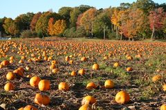 Pumpkin Patch, Maine royalty free stock photography