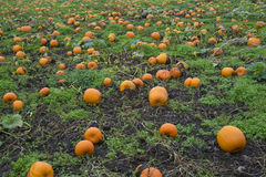 Pumpkin patch with many pumpkins Royalty Free Stock Photo