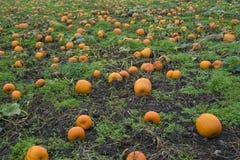 Pumpkin patch. Field of Halloween pumpkins growing in a pumpkin patch royalty free stock photo