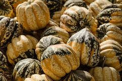 Pumpkin patch. Stock Image