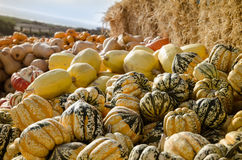 Pumpkin patch. Stock Photography
