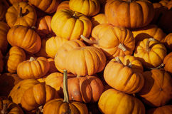 Pumpkin patch. Royalty Free Stock Photo