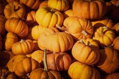 Pumpkin patch. Royalty Free Stock Photo