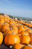 Pumpkin patch. Royalty Free Stock Photos