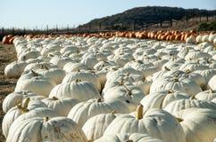 Pumpkin patch. Stock Photo