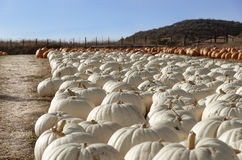 Pumpkin patch. stock images