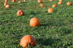 Pumpkin Patch for Many Royalty Free Stock Photo