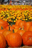 Pumpkin Patch with Marigolds Stock Photos