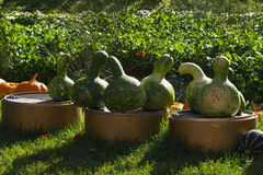 Pumpkin Patch. Multicolored decorative pumpkins on autumn festival royalty free stock photography