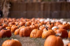 Pumpkin patch on October sunny day royalty free stock photos