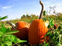 Pumpkin patch offerings waiting to be selected. Two perfect pumps sit in a sunny field waiting to be selected Royalty Free Stock Photos