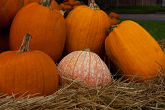 Pumpkin Patch, One Variegated. Pumpkins of all sizes, shapes and varieties Stock Image