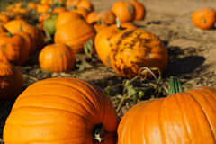 Pumpkin Patch. A pumpkin patch perspective as a background image with out of focus distance Stock Photos